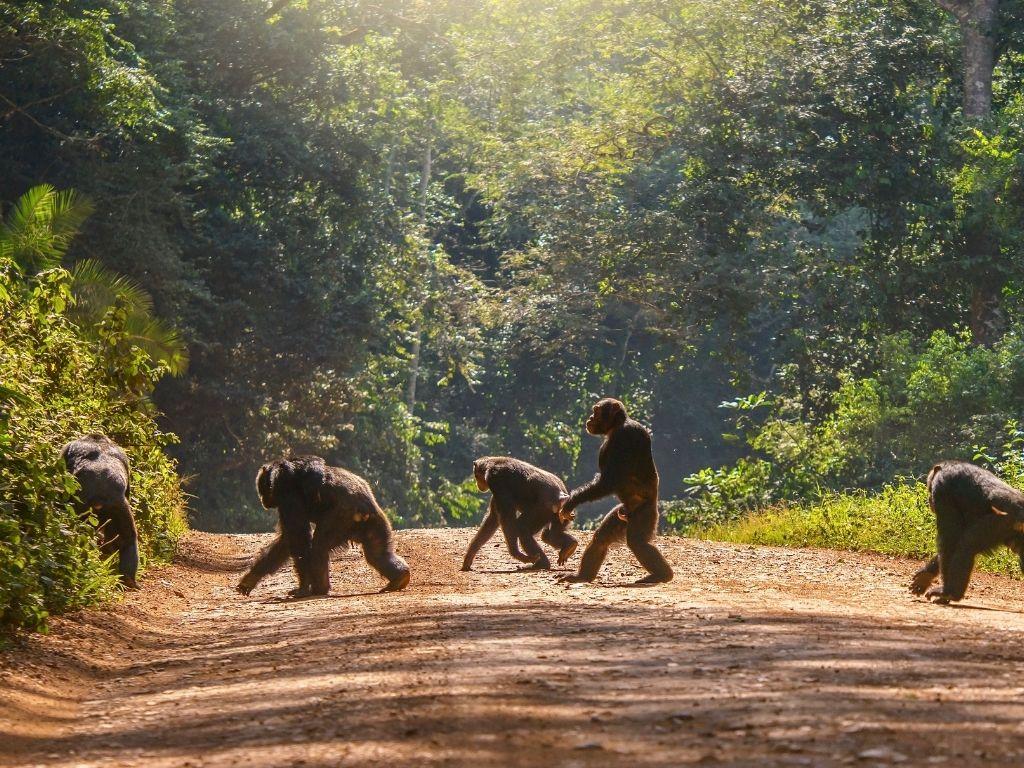 Monos cruzando un camino en Kibale
